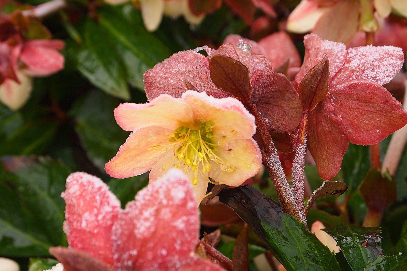 Helleborus – zo komt je kerstroos mooi de winter door