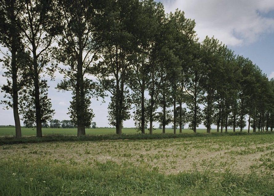 Populier terug in het Hollandse landschap