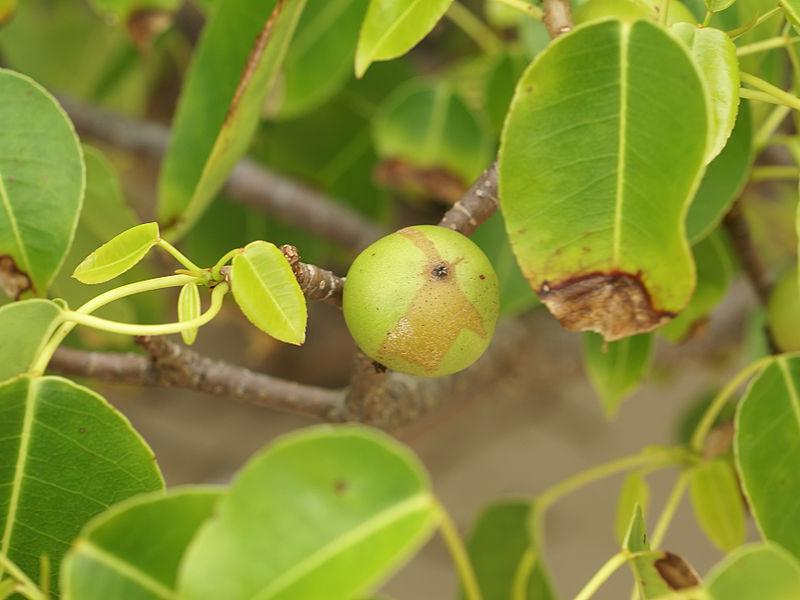 manzanillaboom