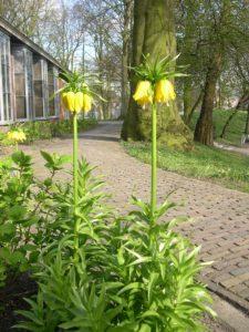 Fritillaria_imperialis geel