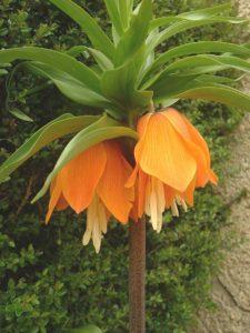 Fritillaria_imperialis3