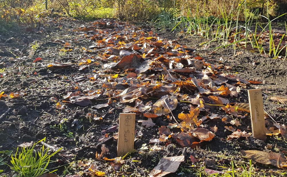 moestuin: bedden met sjalotten afgedekt met blad