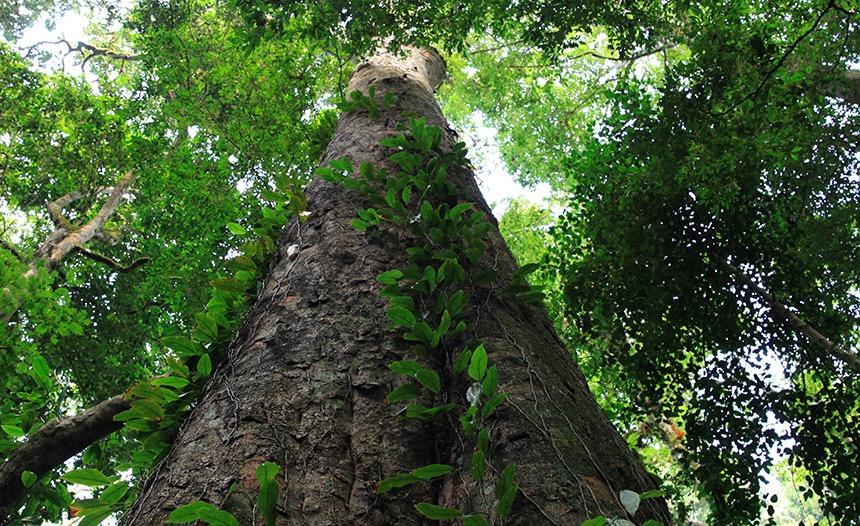 Hoogste boom van Afrika