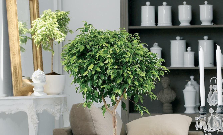 Kerstboom eruit? Ficus erin!