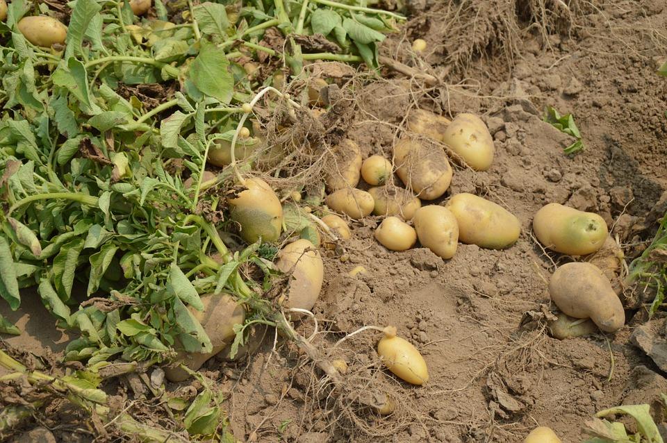 Op zoek naar de oer-aardappel
