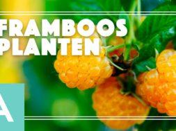 Framboos planten – Angelo