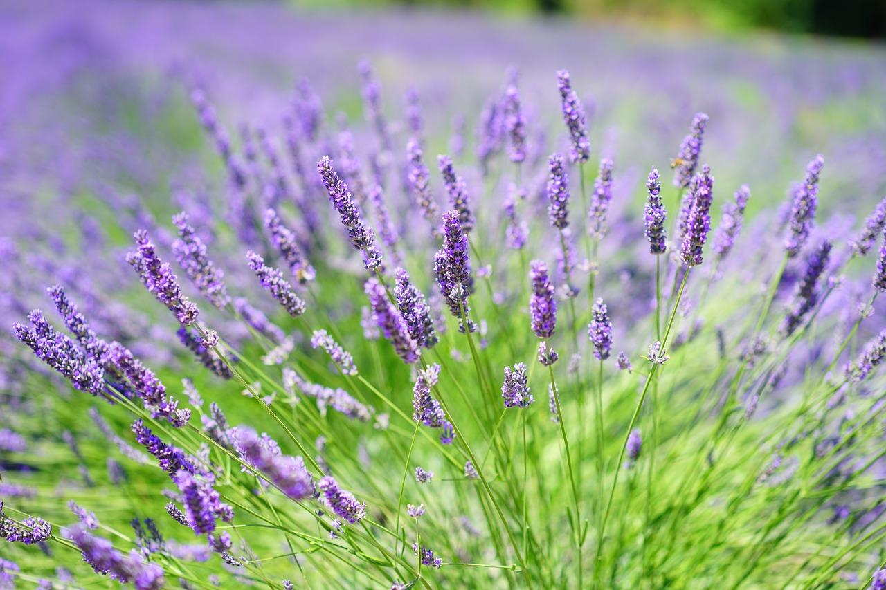 Lavendel bloeit vroeger dan ooit!