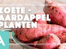Zoete aardappel – Angelo