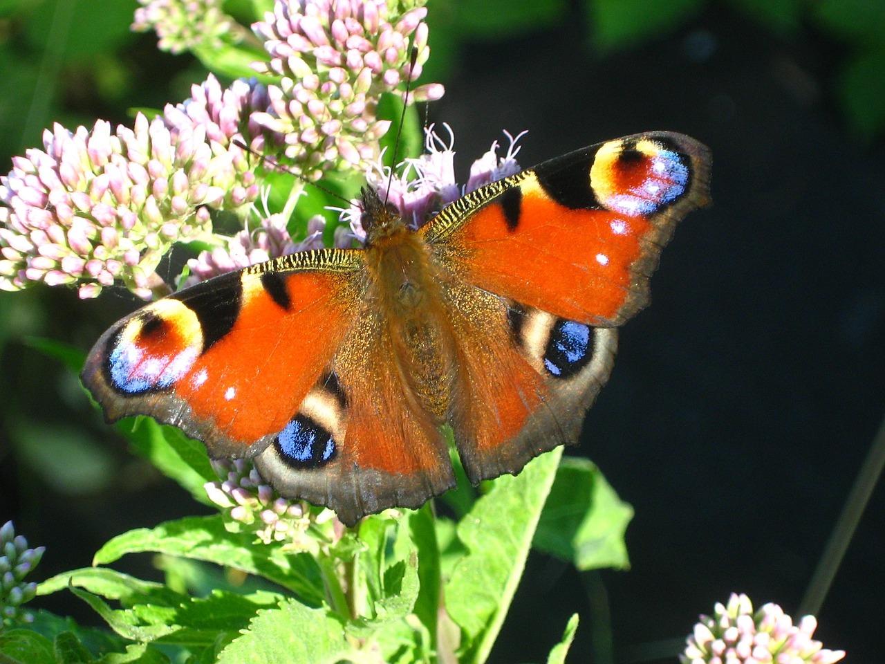Maak van je tuin een walhalla voor vlinders