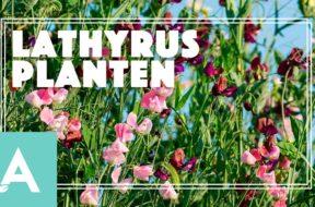 Lathyrus – Angelo