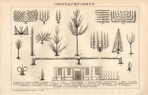 oude vormen leibomen