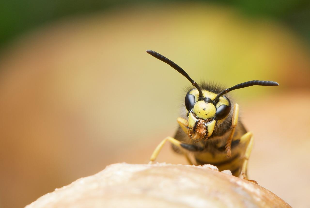 Wat doe ik met een wespennest?