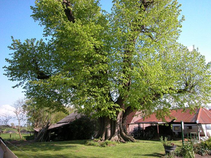 Dit zijn de vijf meest bijzondere bomen van Utrecht