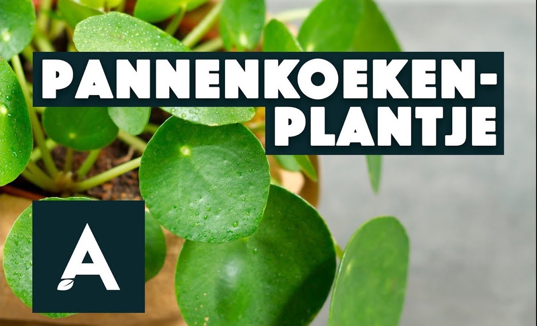 Pannenkoekplant – Een groener thuis #02