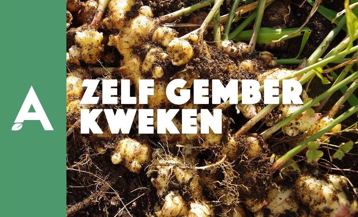 Zelf gember kweken – Een groener thuis #03