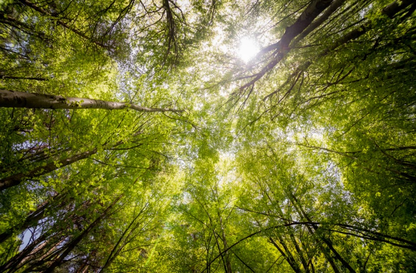 Vlinderbloemige bomen brengen bos het snelst terug