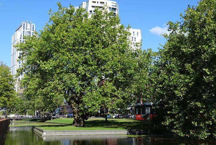 De Breytenbachplataan van Rotterdam
