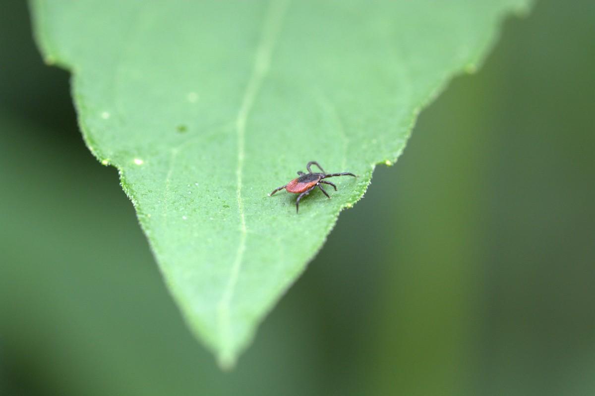 Planten effectiever tegen Lyme dan antiobiotica